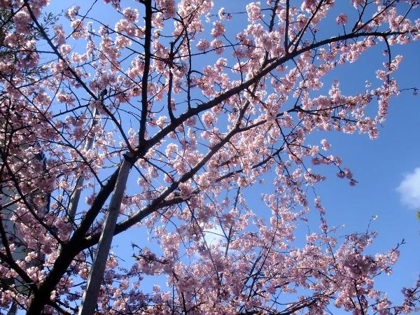 池西さんの桜