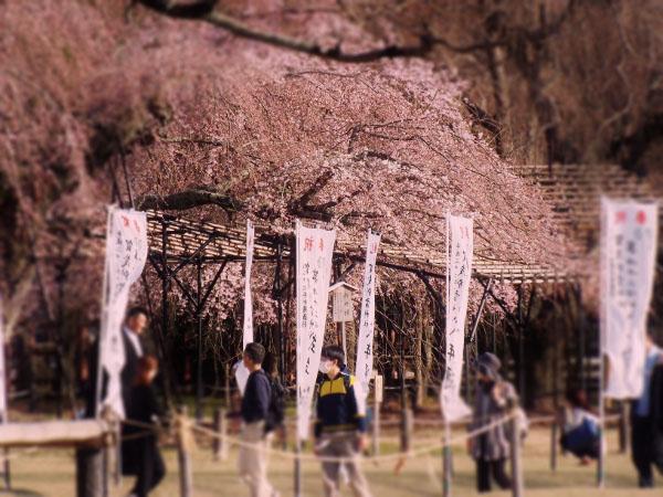 上賀茂の桜
