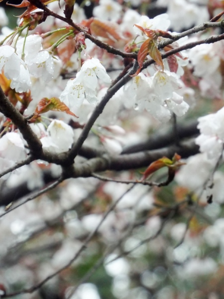 2015桜