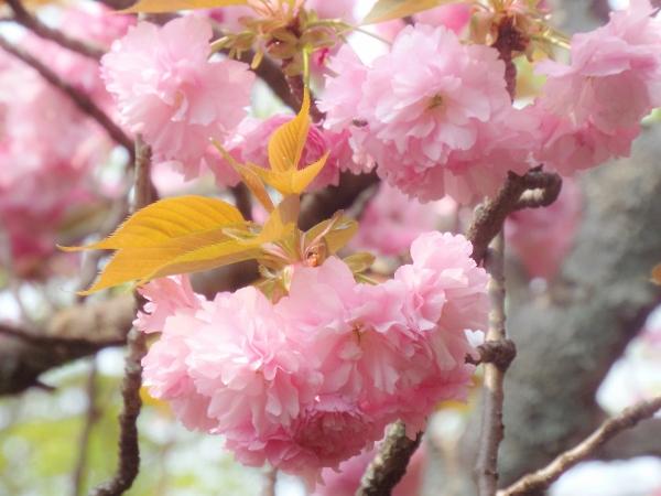 八重さと桜