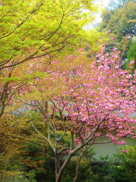 新緑と里桜