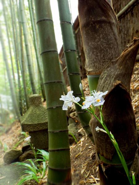 シャガと竹