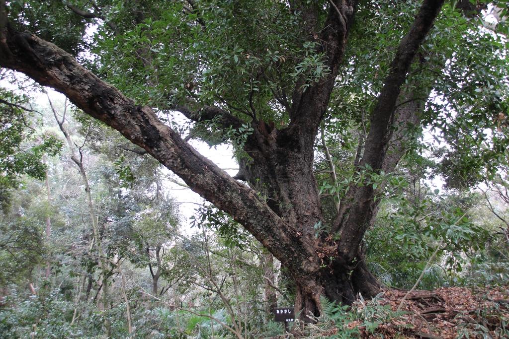 赤樫の巨木