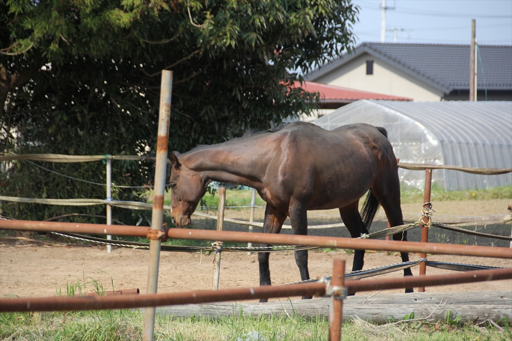 野馬追に出るために飼育されている馬さんたち_3