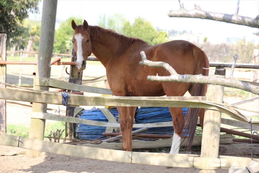野馬追に出るために飼育されている馬さんたち_4