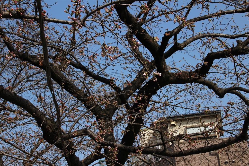 09時過ぎの桜_2