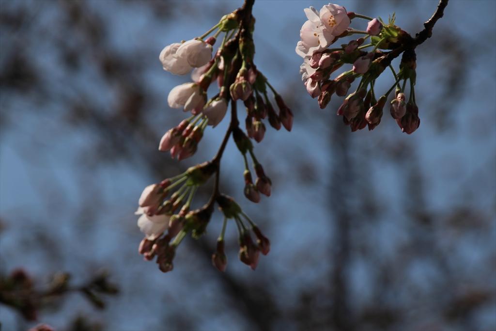 14時少し前の桜_2