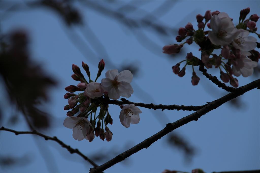 15時過ぎの桜_2