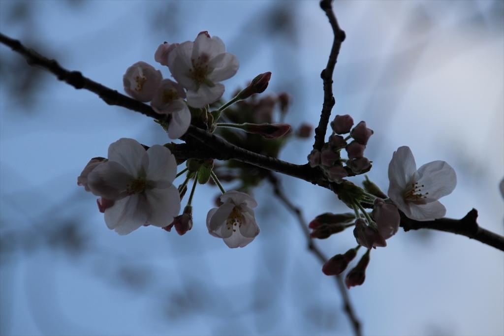 15時過ぎの桜_4