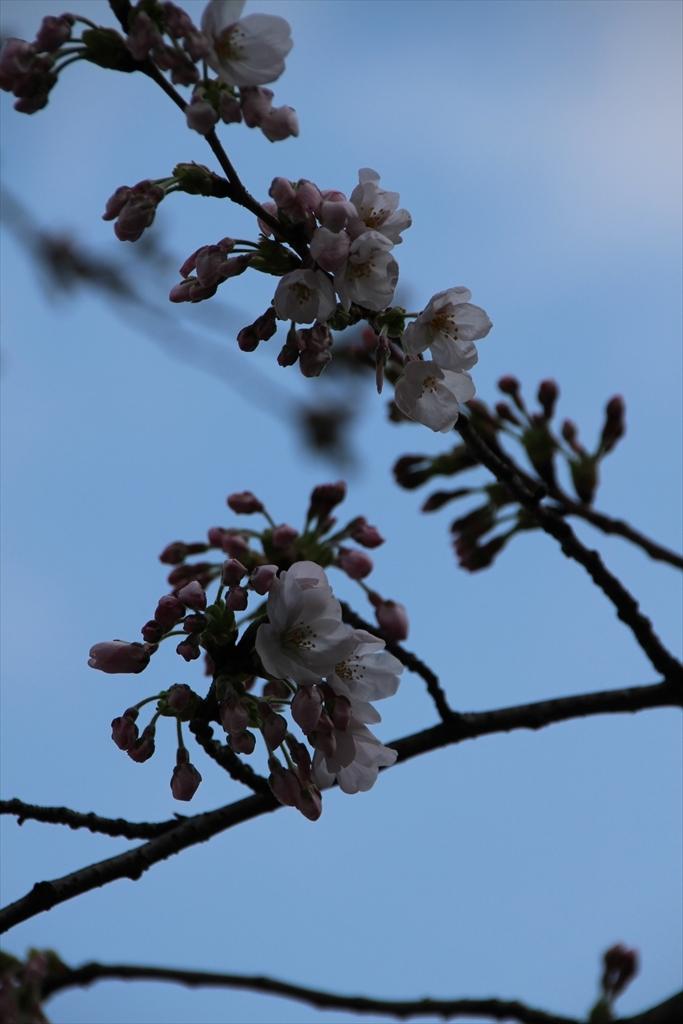 15時過ぎの桜_5