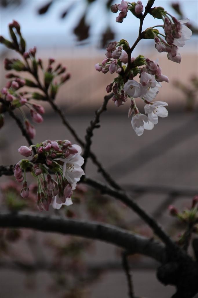 15時過ぎの桜_6