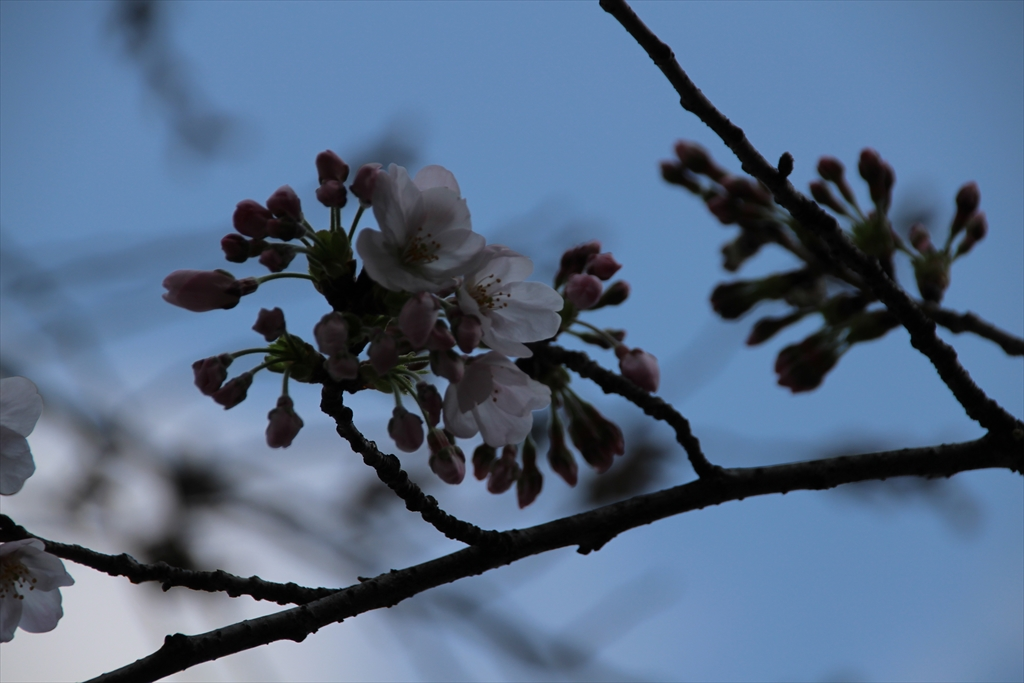15時過ぎの桜_7