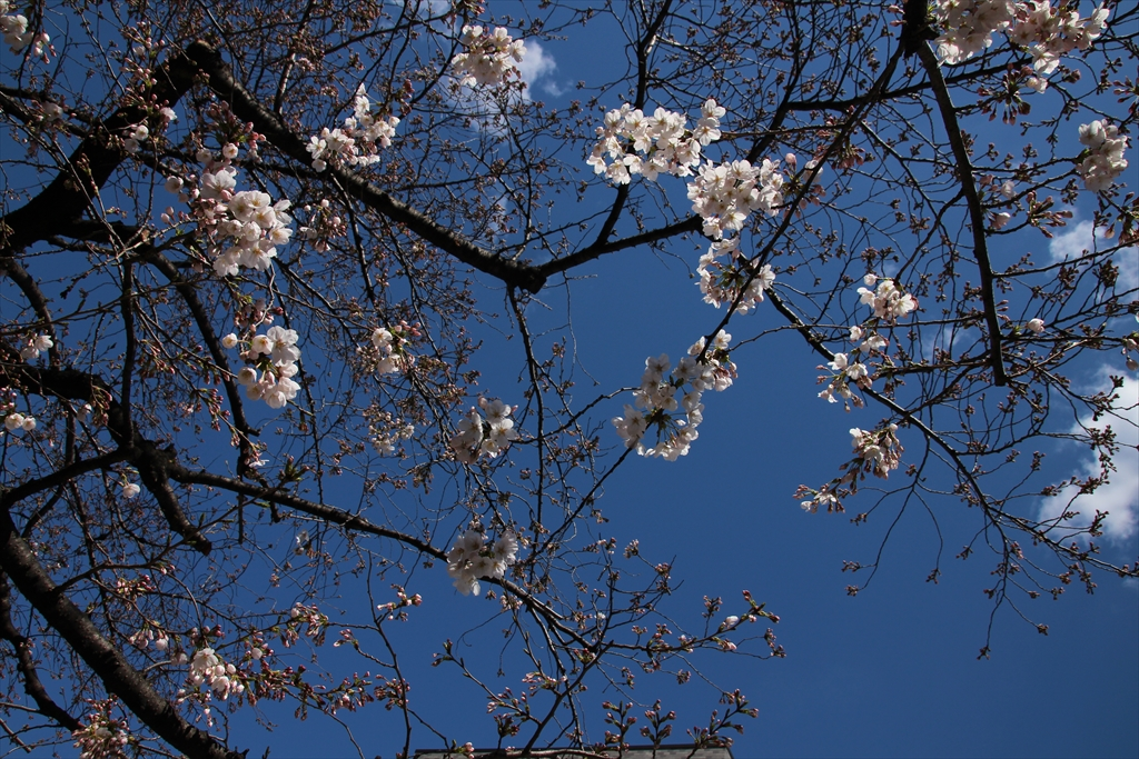 昨24日の桜_1