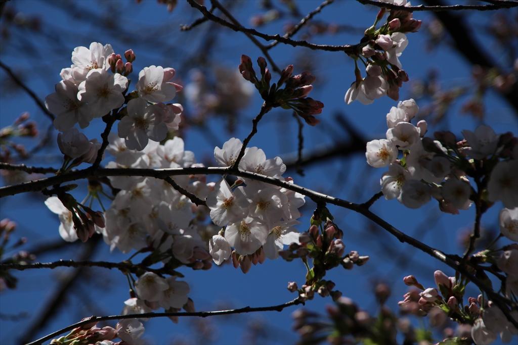 昨24日の桜_2