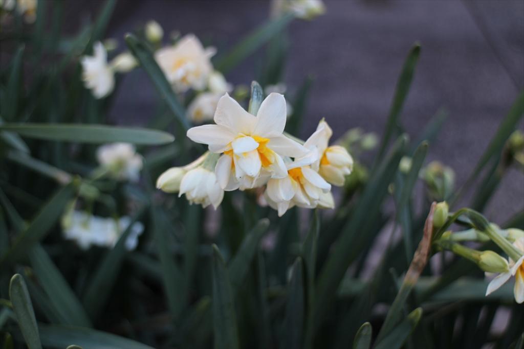 道端には、八重咲き日本水仙が