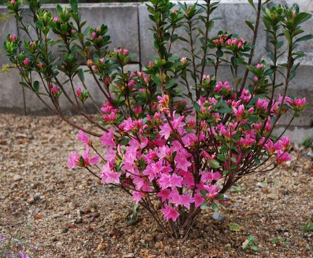 花壇のツツジも開花