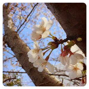 2015年の桜その1
