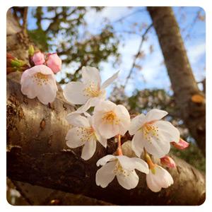 2015年の桜その2