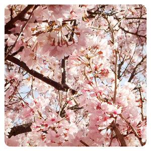 2015年の桜その3
