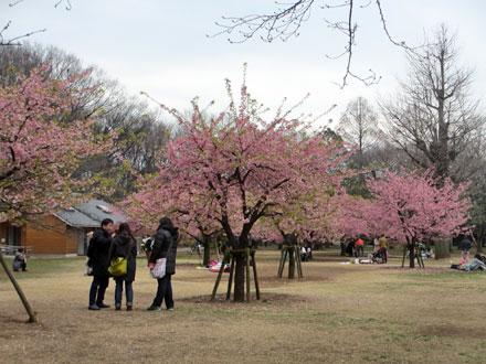 代々木公園の河津桜