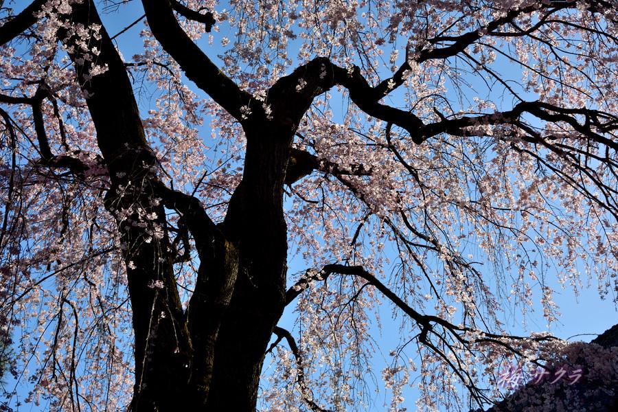 中院の桜2変更済