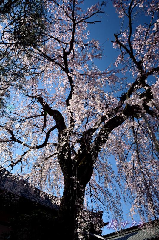 中院の桜3変更済