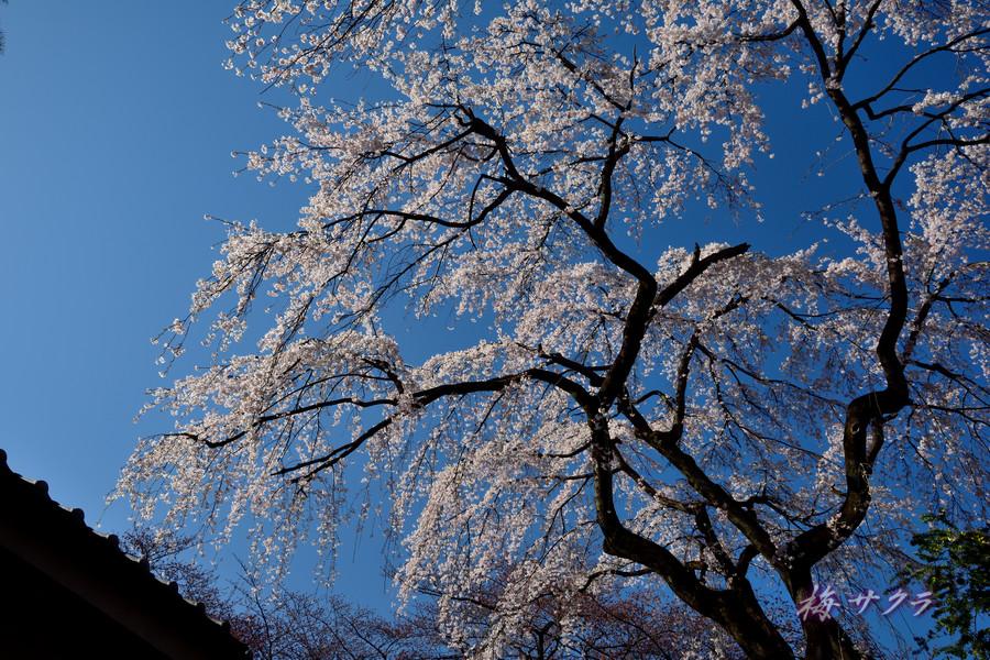 中院の桜5変更済