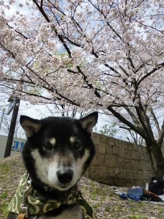 お花見~元茨木川緑地~35