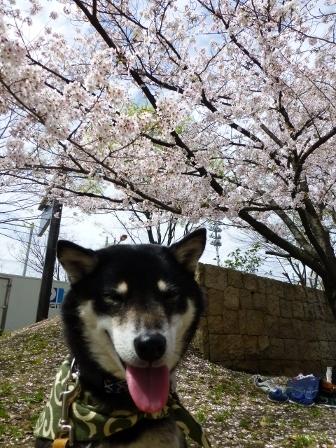 お花見~元茨木川緑地~36
