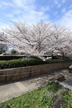 お花見~元茨木川緑地~44