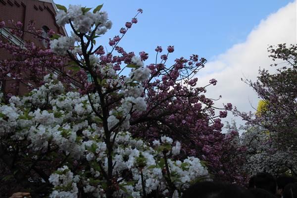 2通り抜け桜