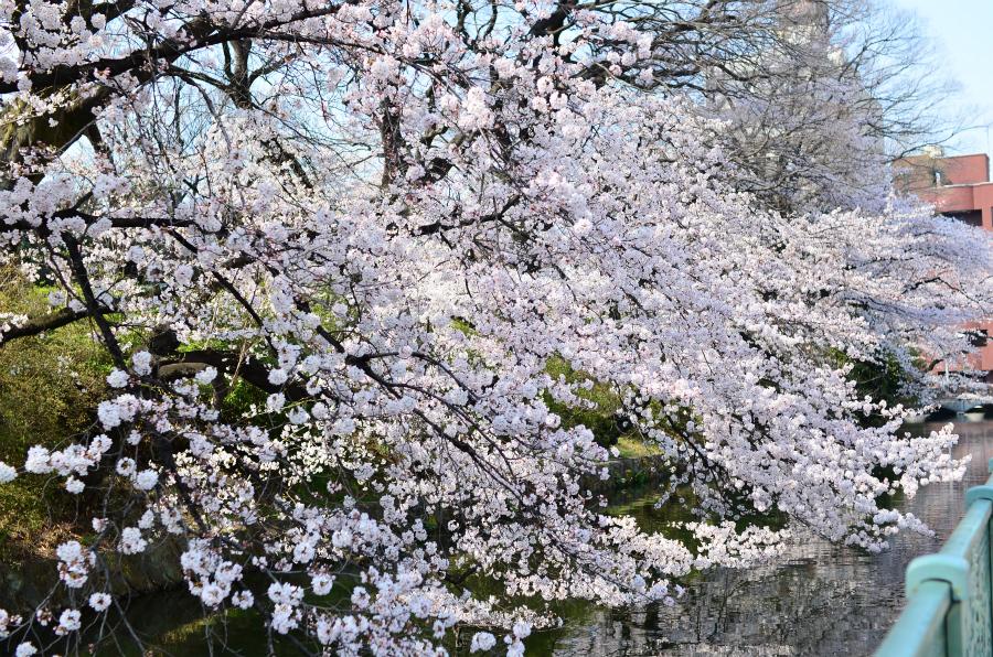 今年の桜とSIGMA 30mm F1.4 DC HSM