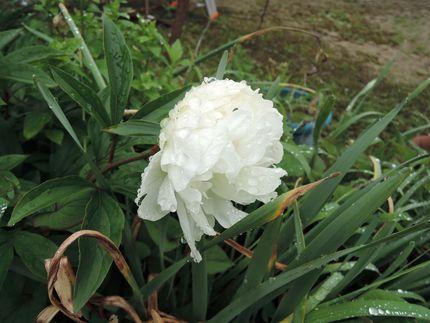 shiroishakuyaku1.jpg