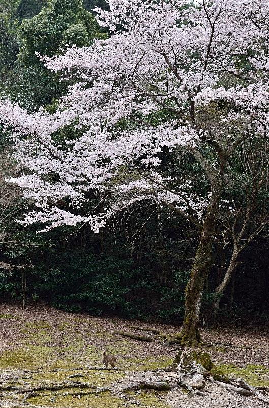 miyajima35.jpg