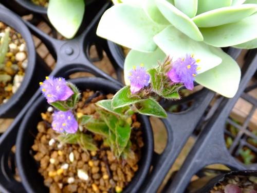 キアノティス 銀毛冠~もしゃもしゃした可愛い紫の露草花が咲きました\(^o^)/2015.06.28