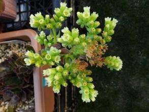 センペルビウム・プロプロサムライトの黄色っぽいお花♪2015.07.22