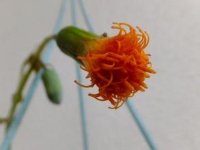 セネシオ・ヤコブセニー(Senecio Jacobsenii)開花中♪~オレンジ色の臭いお花(ToT)/~~~2015.07.16