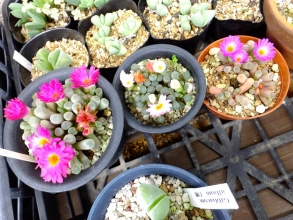 フリチラ・光(晃)玉~濃ピンク花。淡いピンク花はフリチラ・菊紅玉~どちらも開花中♪