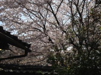 茶房暖暖_桜