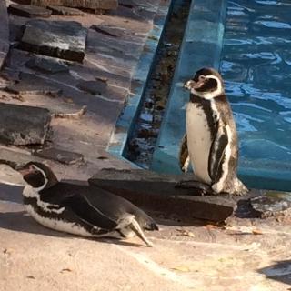 ペンギン立つ