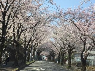 稲城の桜_001