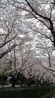 王禅寺の桜_04