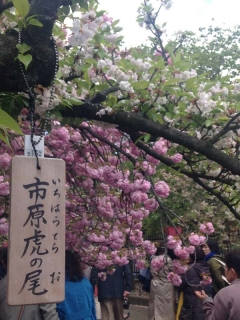造幣局 桜