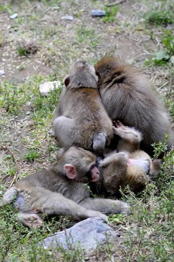 blog (4x6) 125 Jigokudani, Snow Monkey_DSC0052-9.28.13.(5).jpg